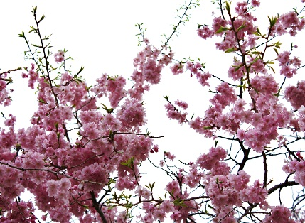 IMG八重桜y