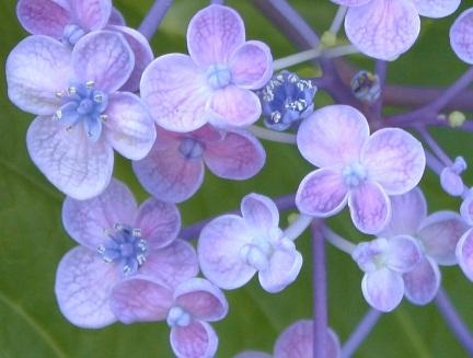 IMGアジサイの花粉