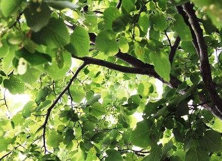 IMG樹木p1