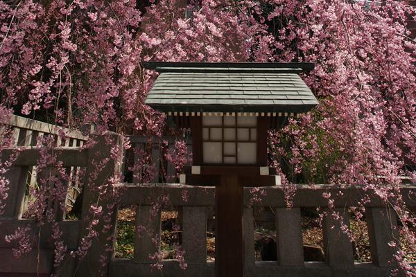 乃木神社の枝垂れ桜