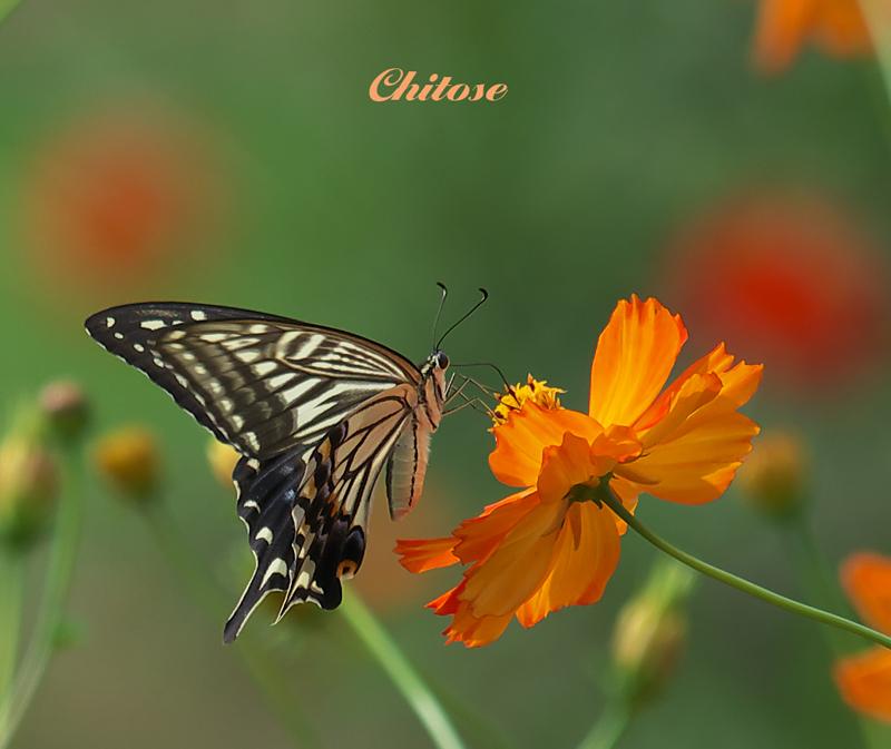 蝶とキバナコスモス小