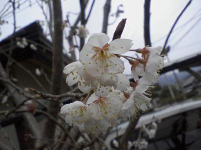 2010さくらんぼの花