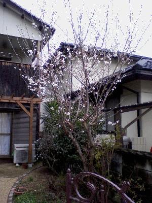 2010さくらんぼの木
