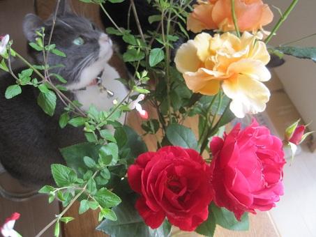 20100608バラと猫たち2