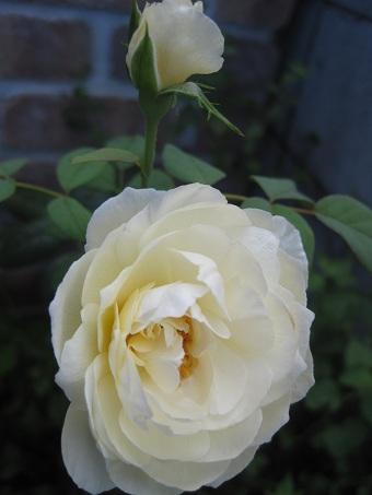 201008ローズマリー
