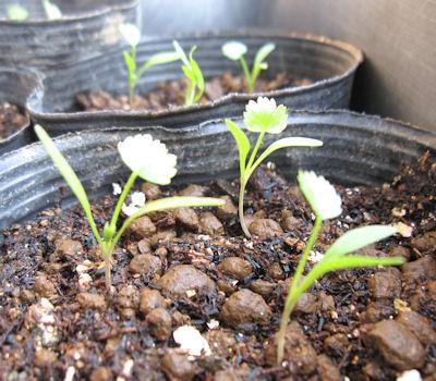 ホワイトレースフラワーの芽