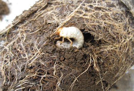 コガネ幼虫