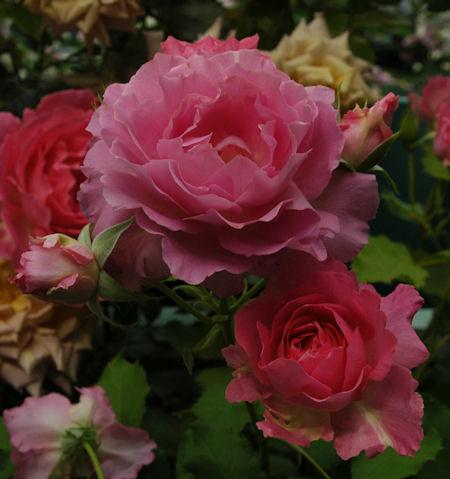 ピンクオブプリンセス