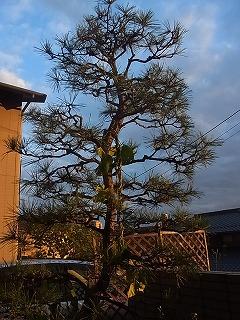 寒い松の木