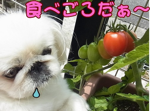 トマトとツーショット
