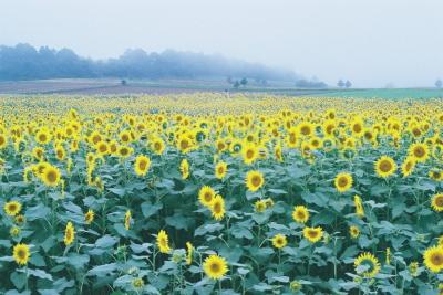 ひまわり畑@布引風の高原