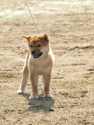 日本犬保存会秋季展覧会福島支部展@蟹川橋河川敷