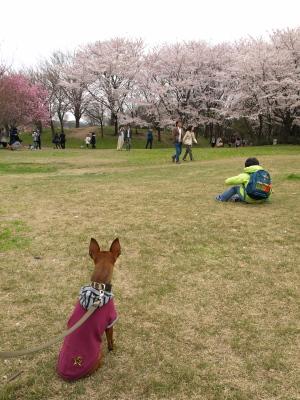鳥屋野潟公園の桜_2012/04/22