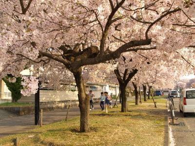 県立博物館東側の高遠小彼岸桜_2012/04/25