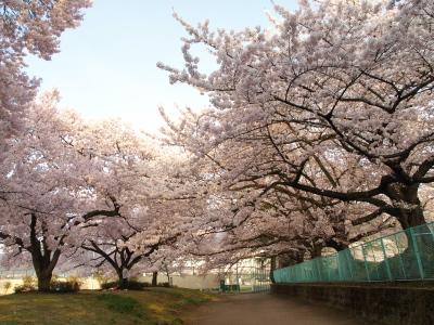 福島県立博物館の駐車場南側の桜_2012/04/25