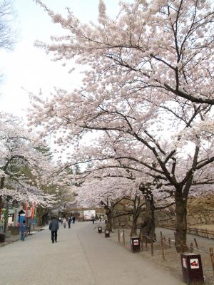 鶴ヶ城公園の桜_2012/04/25夕方