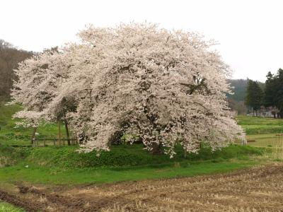 石部桜_2012/04/28