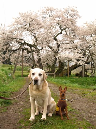 石部桜で朝のお花見デート_2012/04/28