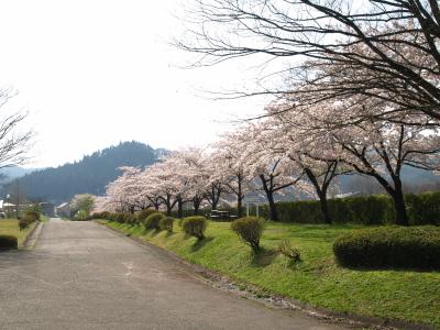 会津短大の桜