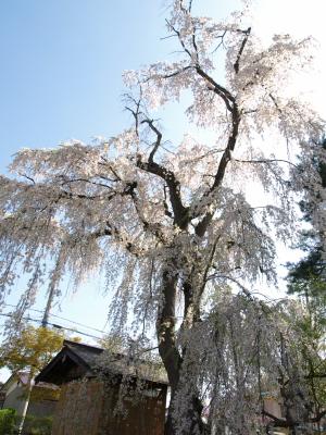 建福寺の枝垂れ桜_2012/04/28