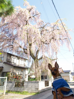 アクア@建福寺ご近所の枝垂れ桜