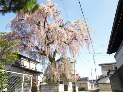 建福寺ご近所の枝垂れ桜