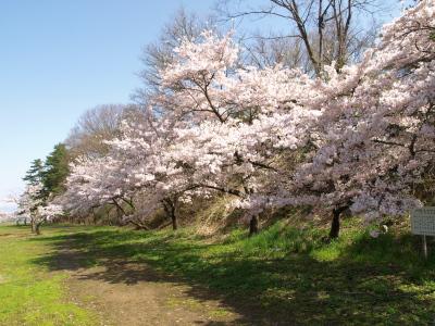 小田山公園の桜