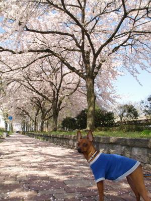 会津大学の桜並木_2012/04/28