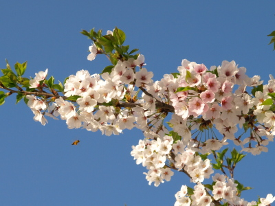 宮川の千本桜_2012/04/28