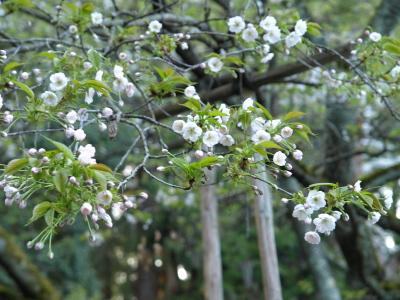 伊佐須美神社の御神木「薄墨桜」