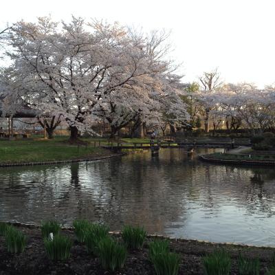 伊佐須美神社外苑「あやめ苑」の桜_2012/04/28