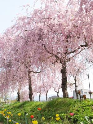 アクア@日中線記念自転車歩行者道のしだれ桜並木_2010/04/29