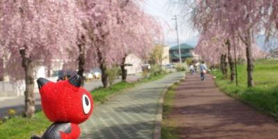 あかべぇ@日中線記念自転車歩行者道のしだれ桜並木_2010/04/29