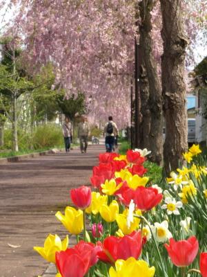 日中線記念自転車歩行者道のしだれ桜並木_2010/04/29