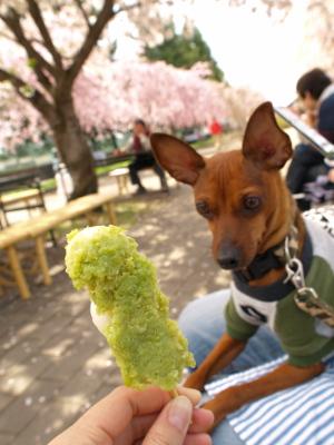 アクアと団子@日中線記念自転車歩行者道のしだれ桜並木_2010/04/29