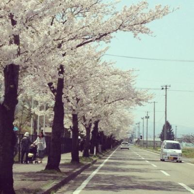 押切川公園西側道路沿いの桜並木_2012/04/29
