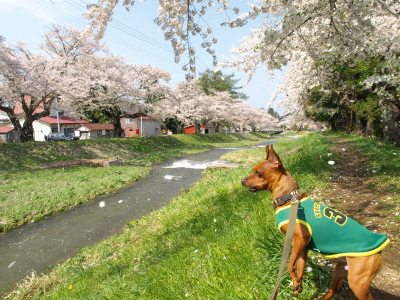 アクアと観音寺川の桜_2012/05/06朝散歩
