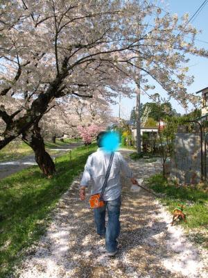観音寺川の桜_2012/05/06朝散歩