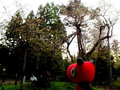 あかべぇと大鹿桜_2012/05/06