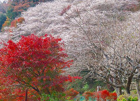四季桜ー1