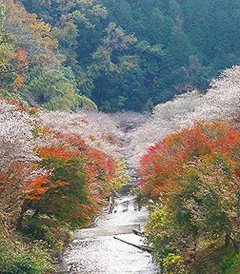 四季桜ー2