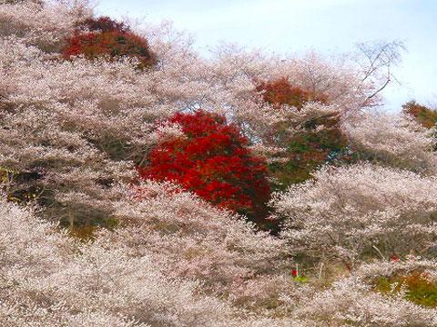 四季桜ー4