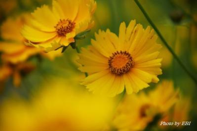 特攻花(金鶏菊 きんけいぎく)