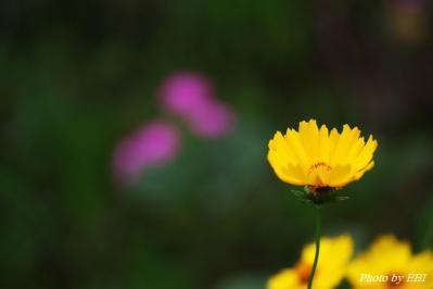 キンケイギク(金鶏菊)