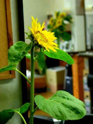 ひまわりの切花