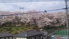 2010年4月3日の桜