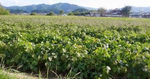 川北産黒豆