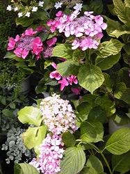 お家の紫陽花