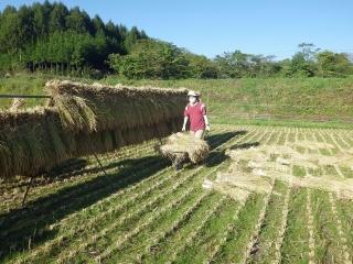 2014.10.9 稲刈り1
