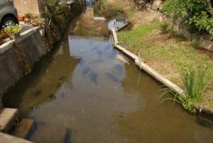 コイが群れる水路
